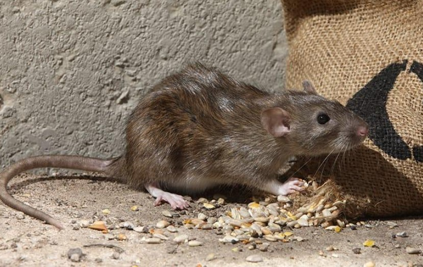 Types of Rodent Repellents and How Do They Work